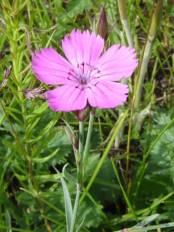 Гвоздика разноцветная: http://zhelva.narod.ru/photo3/d-versicolor.htm